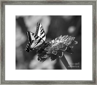 Black And White Butterfly On Zinnia Framed Print by Jim and Emily Bush