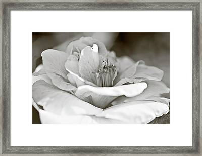 Framed Print featuring the photograph Black And White Camellia Flower by Frank Tschakert