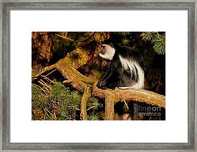 Black And White Colobus Monkey Framed Print by Nick Biemans