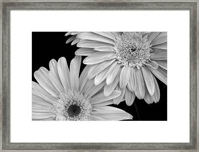 Black And White Gerbera Daisies 1 Framed Print by Amy Fose