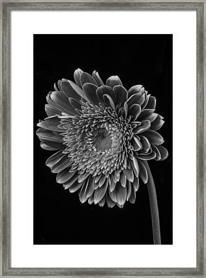Black And White Gerbera Daisy Framed Print