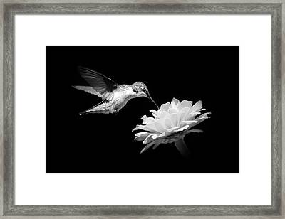 Black And White Hummingbird And Flower Framed Print by Christina Rollo