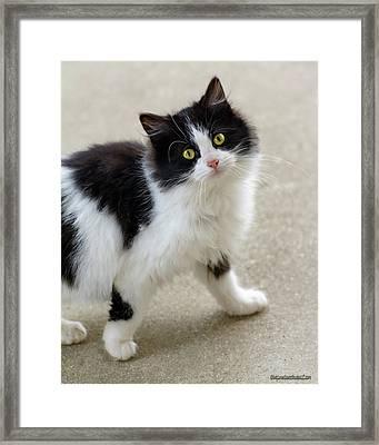 Black And White Kitten  Framed Print