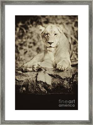 Black And White Lioness Framed Print