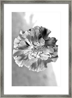 Black And White Marigold Framed Print