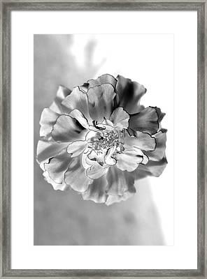 Black And White Marigold Framed Print by Christine Ricker Brandt