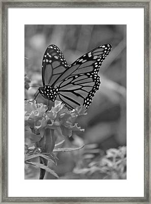 Black And White Monarch Butterfly And Marigold Flower Framed Print