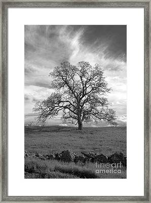 Black And White Oak Tree Framed Print