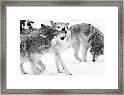 Black And White Of Three Wolves At Play Framed Print by Melody Watson