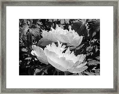 Black And White Peony  Framed Print by Tamara Sushko