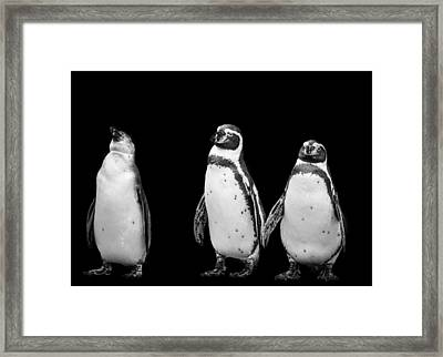 Black And White Photograph Of Three Penguins Framed Print by Preston McCracken