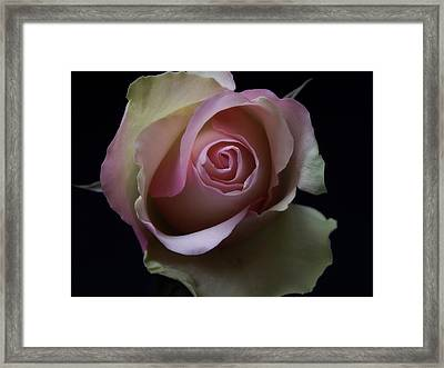 Black And White Pink Flowers Roses Macro Photography Art Work Framed Print
