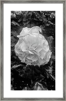 Black And White Rose Framed Print