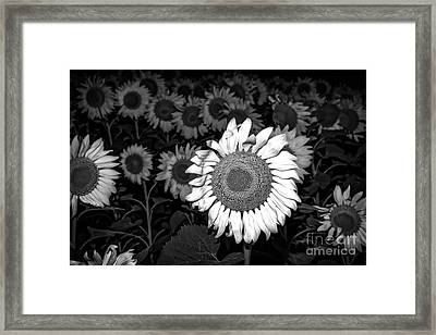 Black And White Sunflowers Framed Print by Tod and Cynthia Grubbs