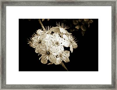 Black And White Wild Plum Blooms 5536.01 Framed Print