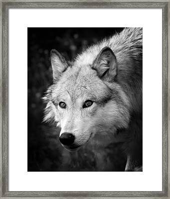 Black And White Wolf Framed Print by Steve McKinzie