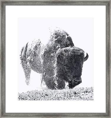 Black And White Yellowstone Bison Splash Framed Print