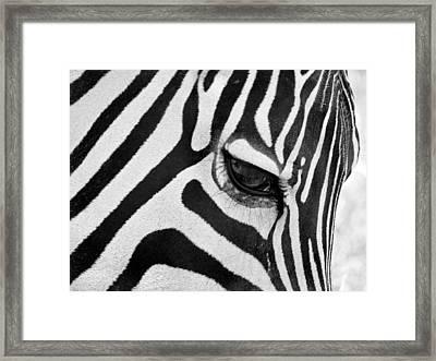 Black And White Zebra Close Up Framed Print