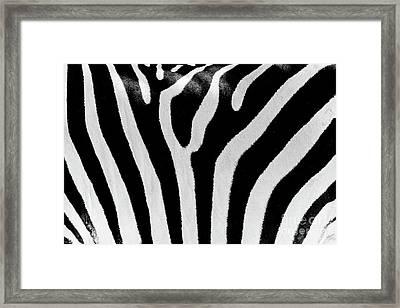 Black And White Zebra Skin Texture Framed Print
