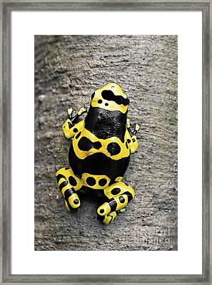 Black And Yellow Poison Dart Frog Framed Print