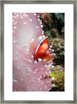 Black Anemone Fish Framed Print by Georgette Douwma