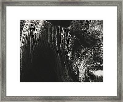 Black Angus Bull Portrait Framed Print
