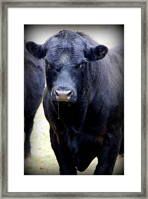 Black Angus Bull Framed Print by Tam Graff