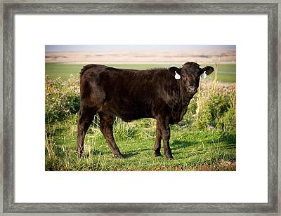 Black Angus Calf In Green Grassy Pasture Framed Print by Cindy Singleton
