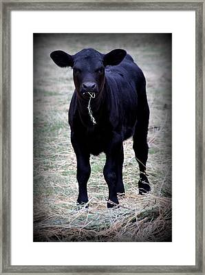 Black Angus Calf Framed Print by Tam Graff