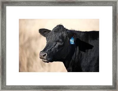 Black Angus Cow Framed Print by Todd Klassy