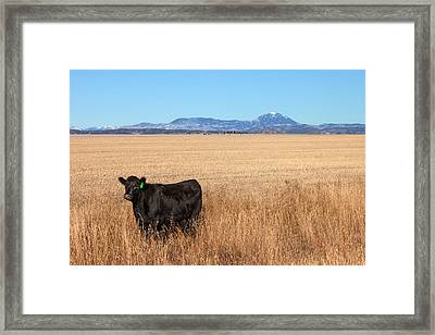 Black Angus Looking Framed Print by Todd Klassy