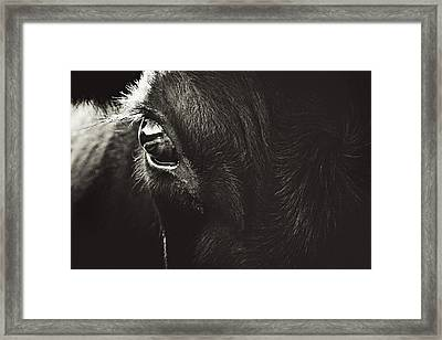 Black Angus Staring Framed Print by Debi Bishop