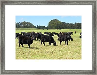 Black Angus Steers Framed Print by Inga Spence