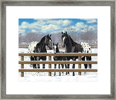 Black Appaloosa Horses In Snow Framed Print by Crista Forest