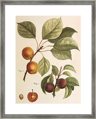 Black Apricot And Apricot Plants Framed Print by Pierre Joseph Redoute