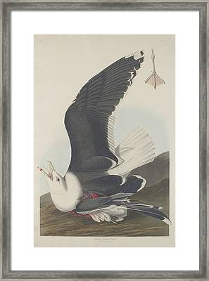 Black-backed Gull Framed Print by Rob Dreyer