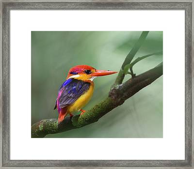 Black-backed Kingfisher Framed Print by Copyright by David Yeo