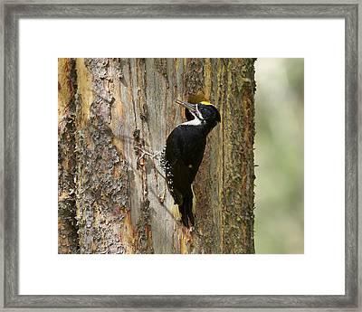 Black-backed Woodpecker Framed Print by Doug Herr