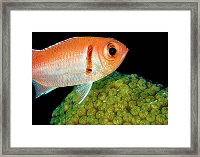 Black Bar Soldierfish Framed Print by Jean Noren