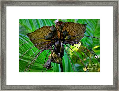 Black Bat Orchid Framed Print by Sue Melvin