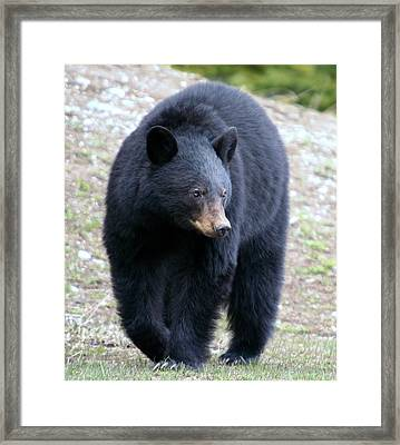 Black Bear At Banff National Park Framed Print