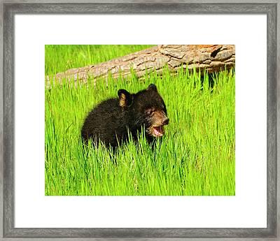 Black Bear Cub Framed Print by Dennis Hammer