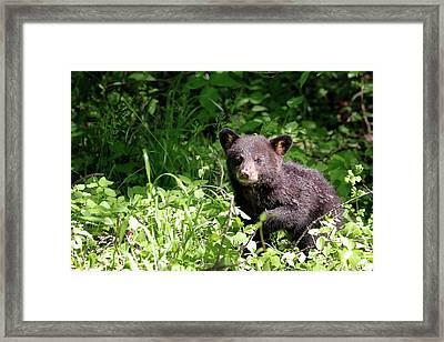 Framed Print featuring the photograph Black Bear Cub by Nicholas Blackwell