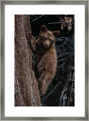 Black Bear Cub Sequoia National Park Framed Print