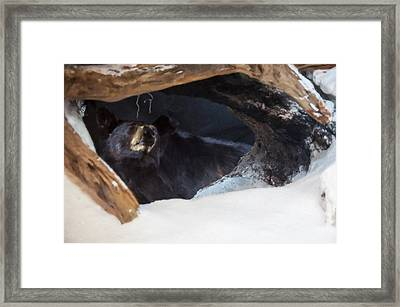 Framed Print featuring the digital art Black Bear In Its Winter Den by Chris Flees