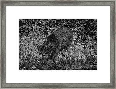 Black Bear Salmon Seeker Framed Print