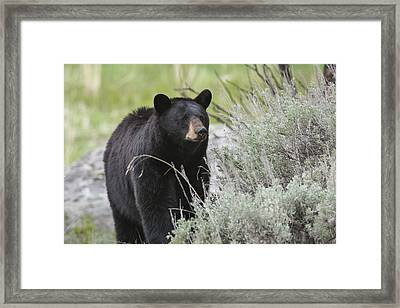 Black Bear Sow Framed Print