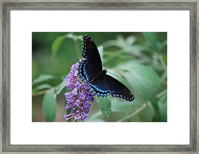 Black Beauty Framed Print by Lori Tambakis