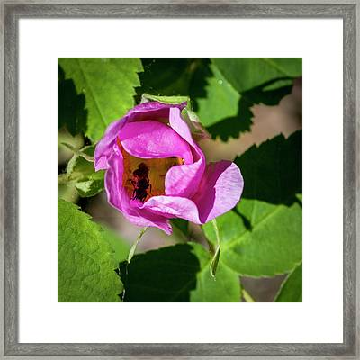 Framed Print featuring the photograph Black Bee Collecting Pollen by Darcy Michaelchuk