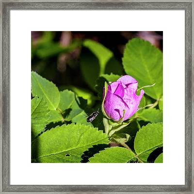 Framed Print featuring the photograph Black Bee On Approach by Darcy Michaelchuk